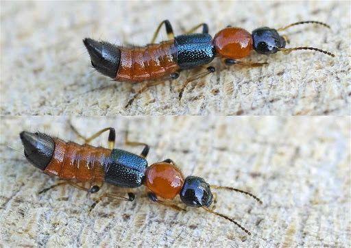 Loài kiến ba khoang là kiến gì?