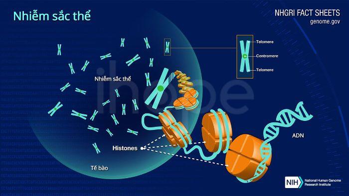 Cấu tạo của nhiễm sắc thể ở con người