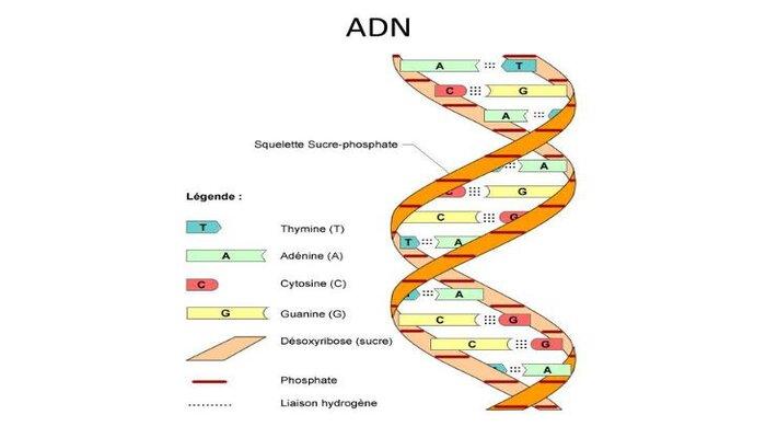 DNA có cấu trúc như thế nào?